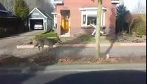 Un loup appreçut dans une village des Pays-Bas