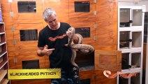 Snake Eating Snakes   CrittaCam