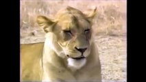 CRATER LIONS OF NGORONGORO AFRICA - Discovery Animals Nature (full documentary)