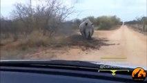 Un Rhinocéros en colère charge et attaque une voiture!