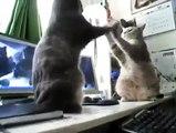 Böylesine Zeki Kedileri İlk Defa Göreceksiniz Oyun Oynuyan Kediler