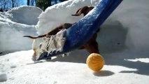 Des teckels trop mignons jouent au Hockey sur glace!
