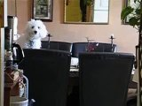 Cute Dog gets caught on table, Bichon Frise