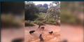 5 Av Köpeği 4 Metrelik Pitona Saldırdı