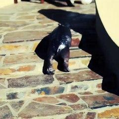 Un pui de hipopotam Pygmy face ravagii pe internet dupa ce a fost abandonat de mama lui. Partea a doua