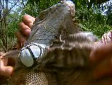 Fous d'animaux - Visages d'iguanes