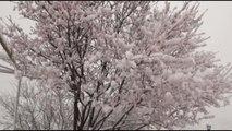 Beypazarı'nda Çiçek Açan Meyve Ağaçları Kar Altında Kaldı