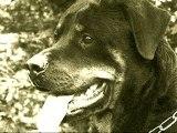 Passion du chien - Le Rottweiler