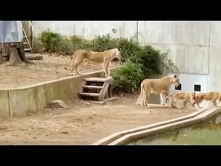 Amazing Video of lion cub into the water - Video Dailymotion