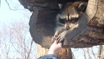 Adorable racoon : so shy but so cute!