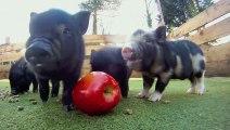 Des bébés cochons trop chou mangent une pomme !