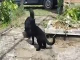 Cat Gets A Dog Into A Sleeper Hold HD 2015