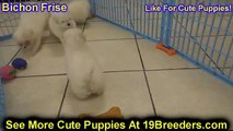 Bichon Frise, Puppies For Sale, In, Charleston, 19Breeders