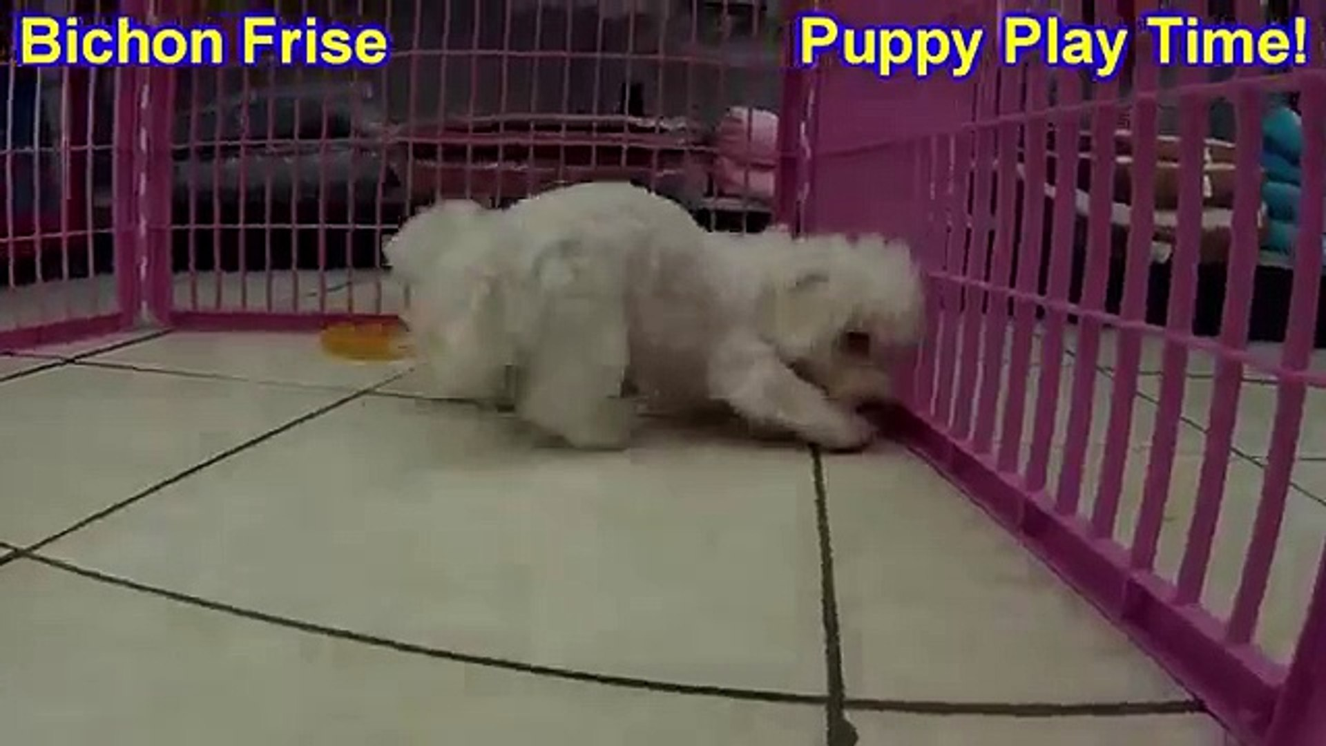 Bichon Frise, Puppies, For, Sale, In, West Jordan, Utah, County, UT, Utah,  Davis, Cache, Box Elder,