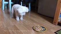 Bichon Frise X Bonkers Barking Very Fierce Poochie. How animals eat - or don't...