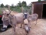 These goats love jumping around on donkeys for some reason!