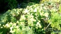 [Permaterre] Potager en permaculture [6] Août 2014
