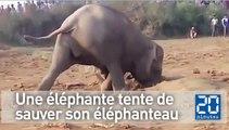 Une éléphante tente de sauver son éléphanteau