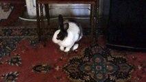 tombiş tavşan vecihi geliyor...