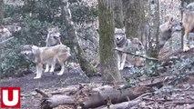 Une louve quitte le Parc Argonne Découverte, près de Vouziers