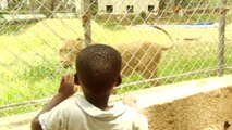Côte d'Ivoire : au zoo, les lions, symbole de l'après-crise