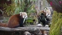 Des pandas roux débarquent au parc de Sainte Croix