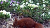 Visite de l'écureuil dans mon jardin le 2/04/2015