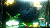 Big tropical Goldfish 100 Litre Freshwater Tropical Aquarium