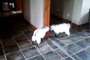 Baby goat sees herself in the mirror.