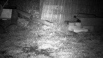 2 - Le printemps, les hérissons circulent dans le jardin ...