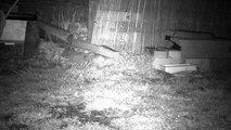 8 - Le printemps, les hérissons circulent dans le jardin ...