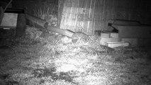 10 - Le printemps, les hérissons circulent dans le jardin ...
