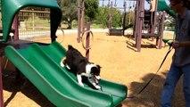 Wily Riley's Wild Ride - Skateboard Riding Australian Shepherd Puppy Dog