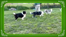 Mafalda's Border Collie - Nuestros border collie 3 Abril  2015