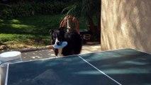 Un chien fait une partie de ping pong avec son maitre