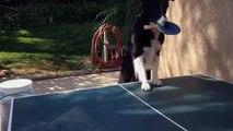 Ce chien est un véritable pro du ping-pong !