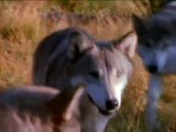 Wolf - Native American ~ Sacred Spirit ~ Yeha-Noha