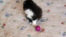 Gatos persas Bogota Colombia - Kiara Cats 003