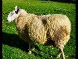 Berceuse - Les moutons blancs (SD)