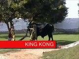 KING KONG for Eid Ul Azha (Bakra Eid) 2009