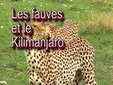 Les fauves et la savane. Life in the Savana, Africa. Lions fight !