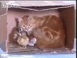 LiveLeak - Cat takes care of newborn chicks