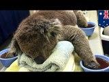 Incendies en Australie: Plusieurs koalas ont été brûlés, ils ont besoin de mitaines