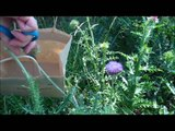 Thistle Farms' Guide to Harvesting Thistles - Thistle Farms