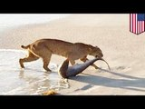 LYNX vs REQUIN: Un lynx attaque un requin sur une plage en Floride