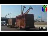 CRUAUTÉ ENVERS LES ANIMAUX: Une girafe se fait décapiter par un pont