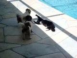 Chat VS chien au bord d'une piscine : méfiez-vous du chat qui dort!