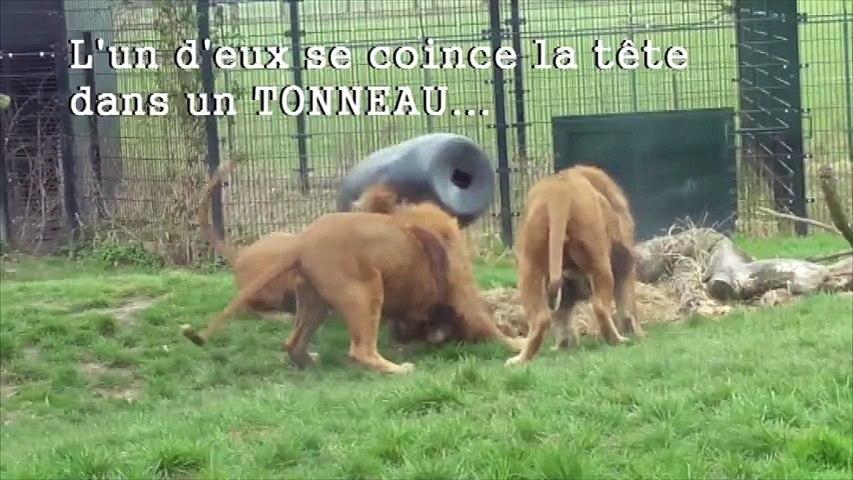 La drôle de tête d'un lion prisonnier d'un tonneau