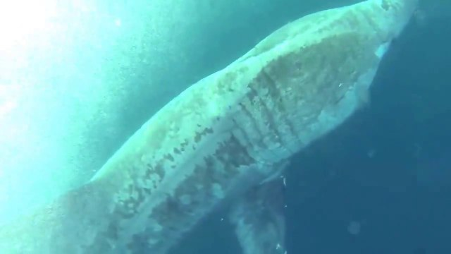 This guy is Swimming with Basking Sharks : scary!