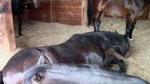 Un cheval lache des caisses en dormant!